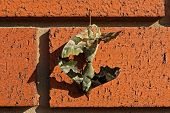 picture of hawk moth  - Close up of 2 two mating Lime Hawk moths hanging on the red brick wall - JPG