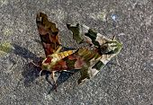 image of hawk moth  - Pair of camouflage colors colours Mimas tiliae - JPG