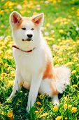 picture of akita-inu  - Akita Dog  - JPG