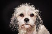 Purebred Havanese Dog poster