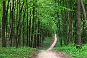 picture of coniferous forest  - beautiful green forest - JPG