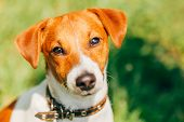 foto of jack russell terrier  - Dog jack russel terrier on green grass meadow outdoors - JPG