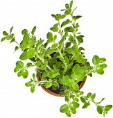 image of origanum majorana  - fresh flavoring herbs oregano in brown flower pot top view isolated on white background - JPG