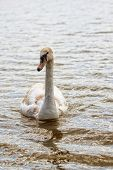 picture of trumpeter swan  - Swan in the wild - JPG