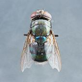 stock photo of blowfly  - Extreme close up dirty died chrysomya species fly isolated on gray background - 