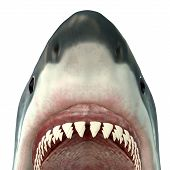 stock photo of undersea  - The Great White Shark is the largest predatory fish in the sea and grows new teeth throughout its life - JPG