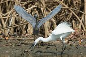 stock photo of good-vs-evil  - A white Western Reef Heron (Egretta gularis) forcibly chasing off a dark Western Reef Heron