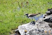 foto of killdeer  - Killdeer (Charadrius vociferous) on the rocks of a man-made water hole.