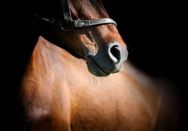 foto of chestnut horse  - Close - JPG