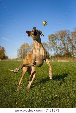 Great Dane on hind legs, moth wide open reching for yellow ball, vertical