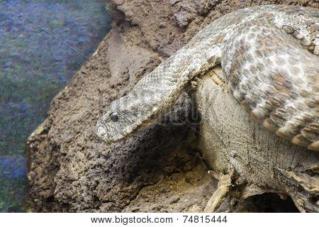 Levant Viper (macrovipera Lebetina)