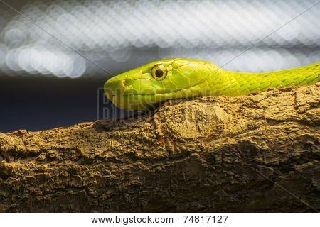 Western Green Mamba (dendroaspis Viridis)