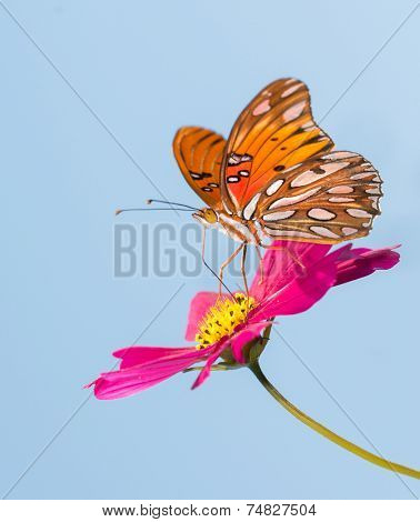 Gulf Fritillary butterfly feeding on a pink Cosmos flower with blue sky background