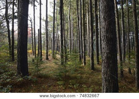 Pine Forest in Fall