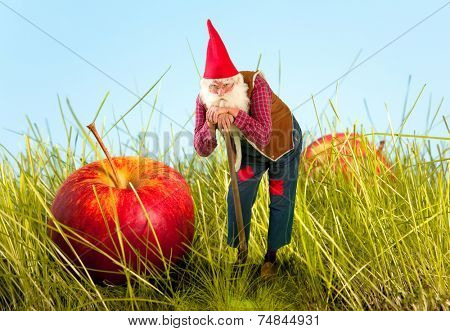Real life garden gnome standing beside an apple