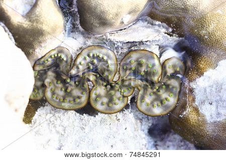 Nature Giant Clam , Tridacna Gigas Type On The Beach In Nature