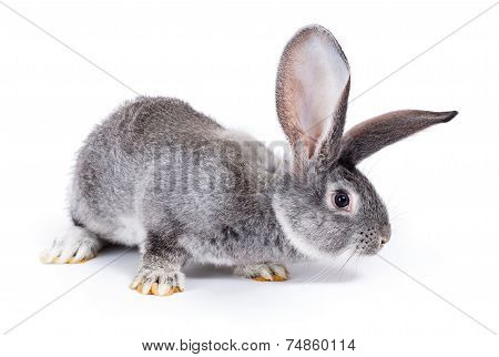 Curious Grey Rabbit Sniffing