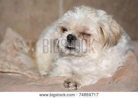 White Shih Tzu resting