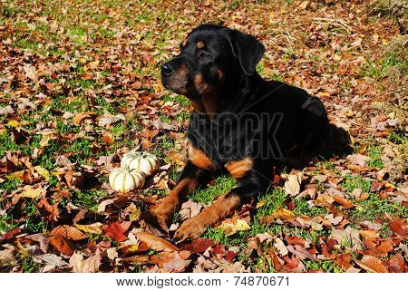 A Purebred Rottweiler Laying In An Autumn Scene