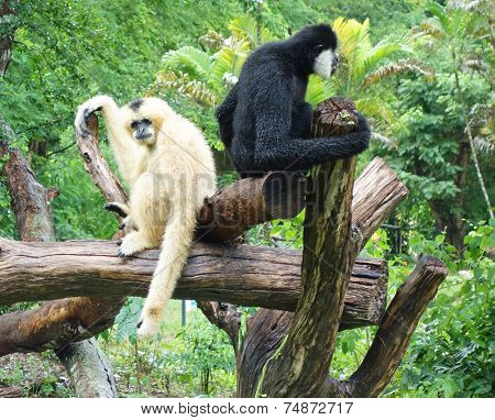 Two Gibbons
