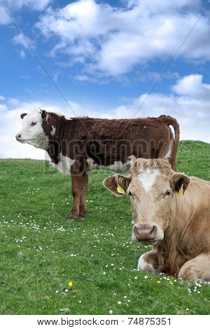Irish Cattle Feeding On The Green Grass