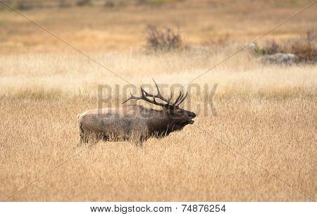 North American Elk