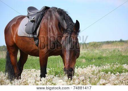 Latvian Horse With Saddle At The Field