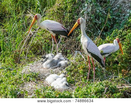 Yellow Billed Storks With Their Young
