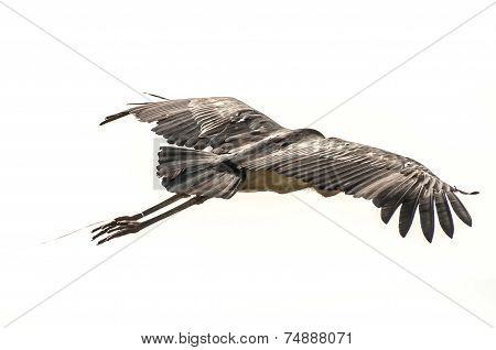 Marabou Stork Entangled