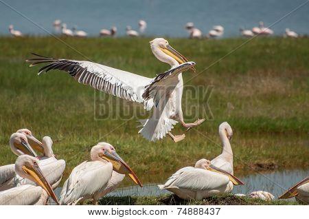 Pelican Coming In For Landing