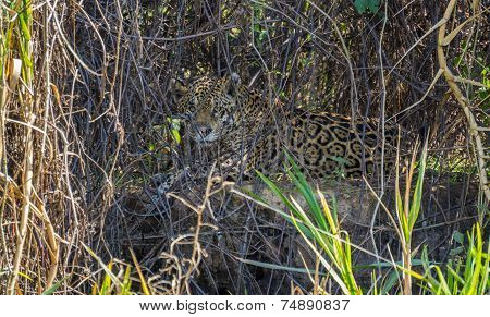 Wild Jaguar behind plants in riverbank, Pantanal, Brazil