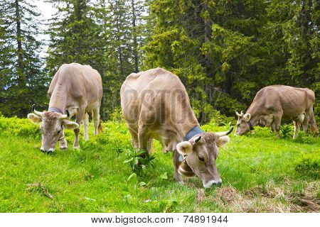 Swiss  Brown milk cows in a pasture in the alp forest, Switzerland Interlaken - Lauterbrunnen Selective Focus