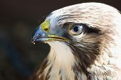 picture of buzzard  - Portrait of Buteo buteo bird of prey commonly know as Common Buzzard - JPG