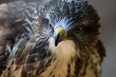 image of common  - Portrait of Buteo buteo bird of prey commonly know as Common Buzzard.