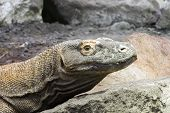 stock photo of komodo dragon  - Head of a Komodo dragon (Varanus komodoensis)