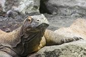 picture of komodo dragon  - Head of a Komodo dragon (Varanus komodoensis)