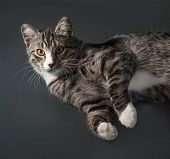 stock photo of yellow tabby  - Tabby cat with yellow eyes lying on gray background - JPG