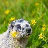 foto of marmot  - Marmots on meadow - JPG