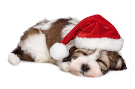 picture of puppy christmas  - Cute sleeping Havanese puppy dog is dreaming about Christmas and wearing a Santa hat. Isolated on a white background