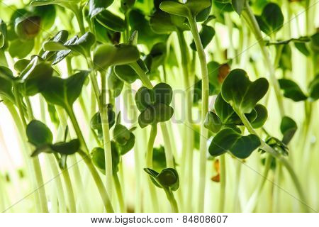 nutritious sprouts