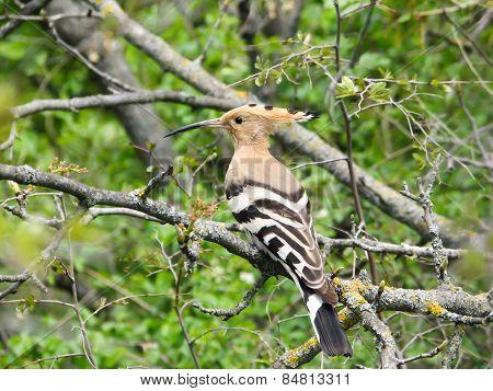 hoopoe, bird
