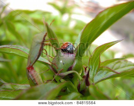 ladybug,insect