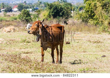 Thai Cow In Field