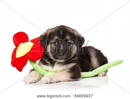 Cute puppy of 1,5 months old with toy flower on a white background