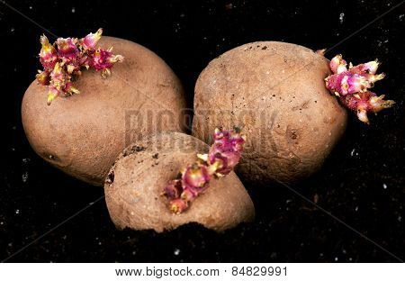 Old potatoes with sprouts in soil