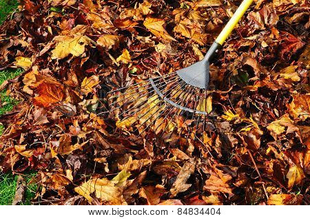 Raking maple leaves.