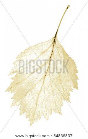 light yellow leaf skeleton isolated on white background