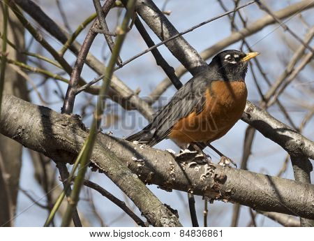 Red Bellied Robin Perched on Branch with Shadows