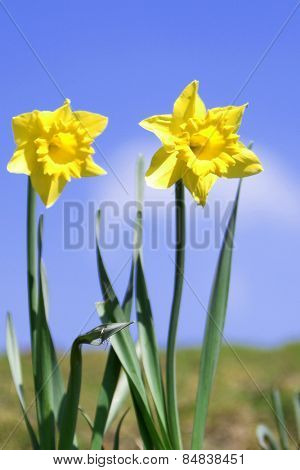 Spring daffodils in sunlight set against blue sky