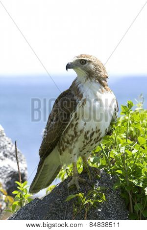 Close up of a hawk with ocean background